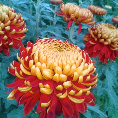 5 Bloom Chrysanthemums